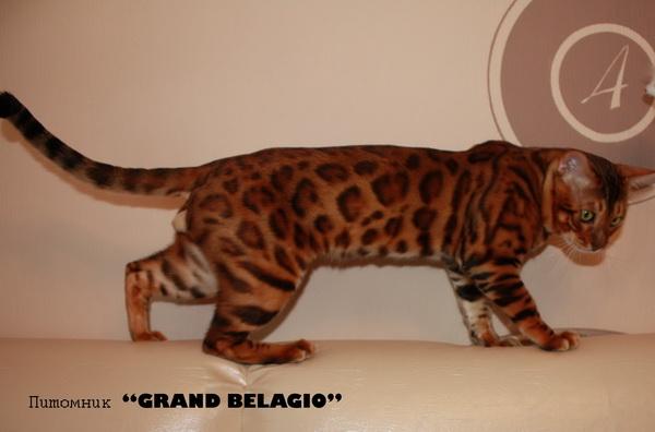 Питомник бенгальских котов спб