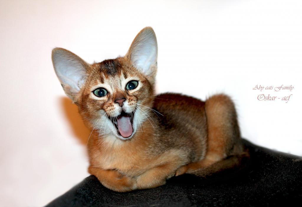 Купить абиссинского кота в москве
